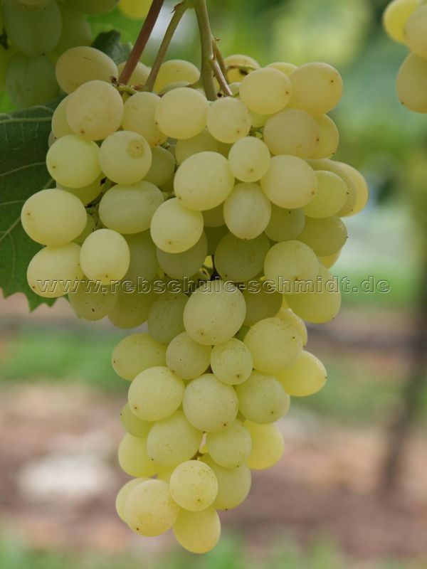 Selma - seedless - table grape