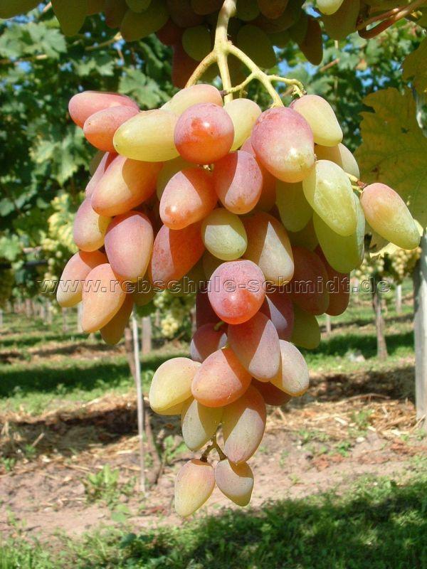 Original - few seeds - table grape