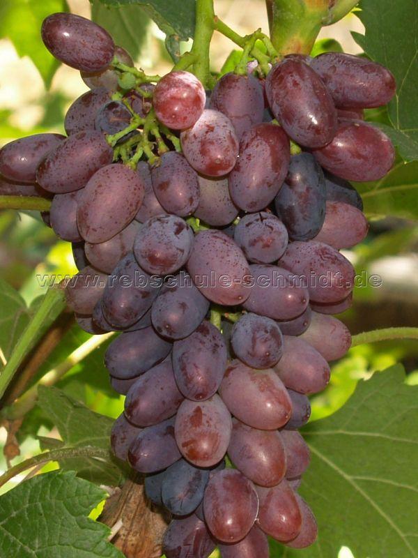 Saturn - seedless - table grape