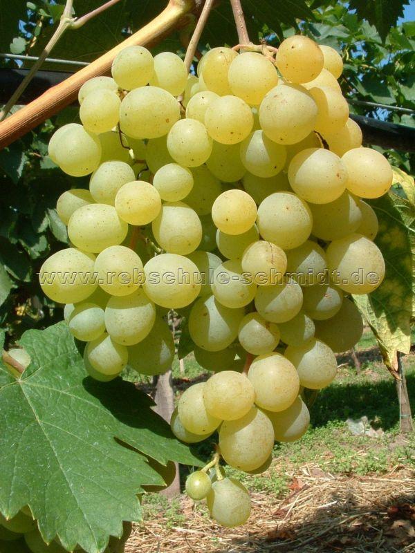 Frumoasa alba - kernarm, Tafeltraube, Rebe